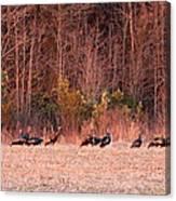 8964 - Turkey - Eastern Wild Turkey Canvas Print
