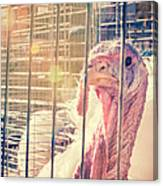 Turkey In The Cage Canvas Print