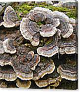 Turkey Tail Bracket Fungi -  Trametes Versicolor Canvas Print