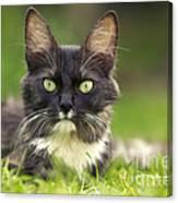 Turkish Angora Cat Canvas Print
