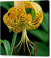 Turk's Cap Lilly Canvas Print