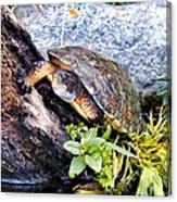 Turtle 1 Canvas Print