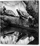 Turtle Bffs Bw By Denise Dube Canvas Print