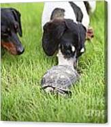 Turtle Chase Canvas Print