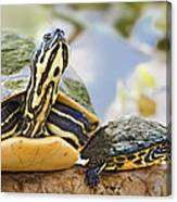 Turtle Family Canvas Print