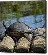 Turtle Float Canvas Print
