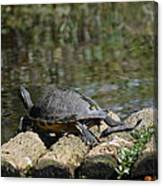 Turtle On A Raft Canvas Print