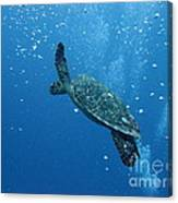 Turtle With Divers' Bubbles Canvas Print