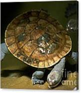 Turtles Float Canvas Print