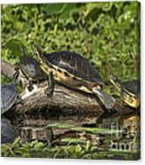 Turtles Sunning Canvas Print