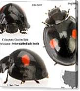 Twice-stabbed Lady Beetle Canvas Print
