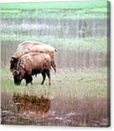 Twin Bison Canvas Print