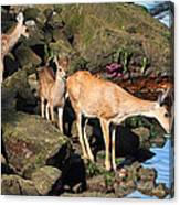 Twin Fawns And Mother Deer On The Shore Canvas Print