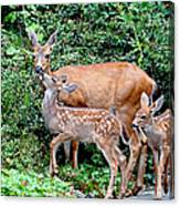 Twin Fawns And Mother Deer Canvas Print
