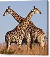 Twin Giraffes Canvas Print
