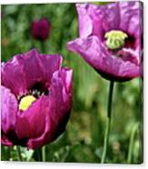 Twin Poppies Canvas Print
