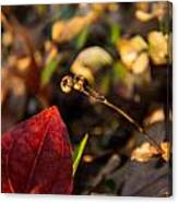 Twin Spotted Wintergreen Pods Canvas Print