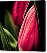 Twin Tulips Canvas Print