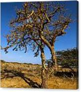 Twisted Tree Canvas Print
