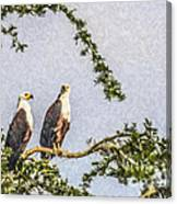 Two African Fish Eagles Haliaeetus Vocifer  Canvas Print