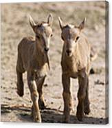 Two Aoudad Babies Playing Canvas Print