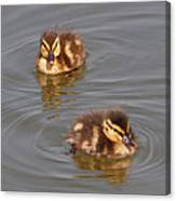 Two Baby Ducklings Canvas Print