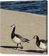Two Barnacle Geese Canvas Print