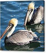 Two Beautiful Pelicans Canvas Print