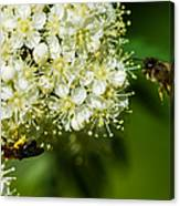 Two Bees On A Rowan Truss - Featured 3 Canvas Print