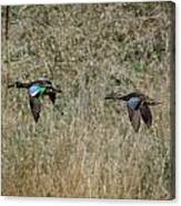 Two Blue Winged Teal Canvas Print