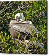 Two Brown Pelicans Canvas Print