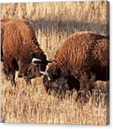 Two Bull Bison Facing Off In Yellowstone National Park Canvas Print
