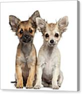 Two Chihuahua Puppies Sitting 3 Months Canvas Print