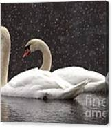Two Christmas Swans A Swimming Canvas Print