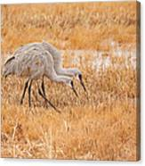 Two Cranes In The Field Canvas Print