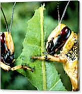 Two Desert Locusts Eating Canvas Print