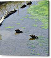 Two Eating Ducks Canvas Print