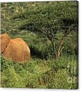 Two Elephants Walking Through The Grass Canvas Print
