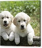 Two Golden Retriever Puppies Canvas Print