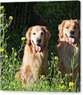 Two Golden Retrievers Sitting Together Canvas Print