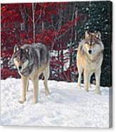 Two Gray Wolves Canvas Print
