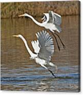 Two Greater Egrets  Canvas Print