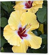 Two Hibiscus Canvas Print