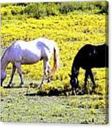 Two Horses Grazing Canvas Print