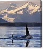 Two Killer Whales Surface In Lynn Canal Canvas Print