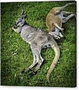 Two Lazy Kangaroos Lying Down Canvas Print
