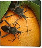 Two Leaf Footed Bugs On An Orange Canvas Print