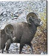 Two Male Rams Canvas Print
