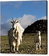 Two Mountain Goats Oreamnos Americanus Canvas Print