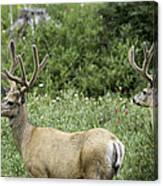 Two Mule Deer Bucks Canvas Print